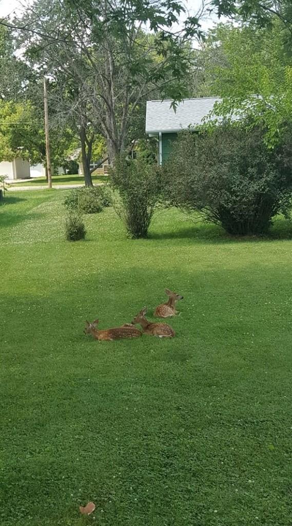 Napping deer